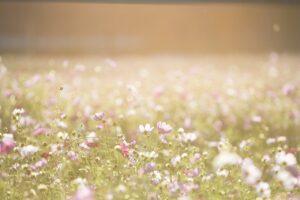 cosmos flowers, flowers, meadow